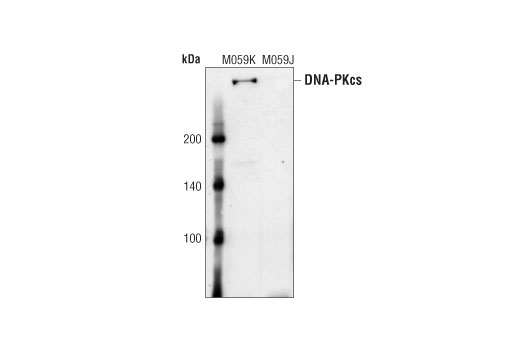 Western blot analysis of extracts from M059K (DNA-PK wildtype) and M059J (DNA-PK deficient) cells, using DNA-PK Antibody.