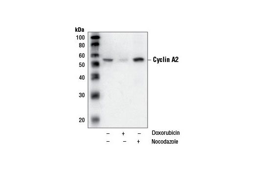 Monoclonal Antibody - Cyclin A2 (BF683) Mouse mAb - Western Blotting, UniProt ID P20248, Entrez ID 890 #4656
