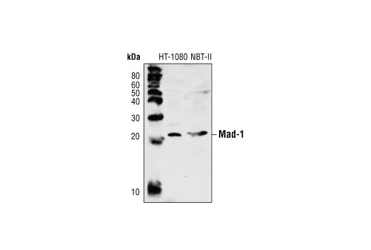 Western blot analysis of extracts from HT-1080 (human) and NBT-II (rat) cells, using Mad-1 Antibody.