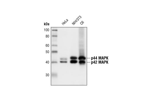 Western blot analysis of extracts from HeLa, NIH/3T3 and C6 cells, using p44/42 MAPK (Erk1/2) (137F5) Rabbit mAb.