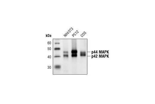 Western blot analysis of extracts from NIH/3T3, PC12 and COS cells, using p44/42 MAP Kinase (L34F12) Mouse mAb.