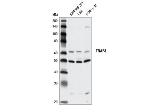 Western blot analysis of extracts from various cell lines using TRAF3 Antibody.