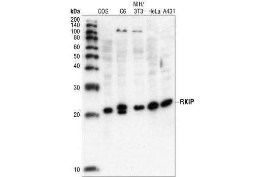 Western blot analysis of extracts from COS, C6, NIH/3T3, HeLa and A431 cells, using RKIP Antibody.