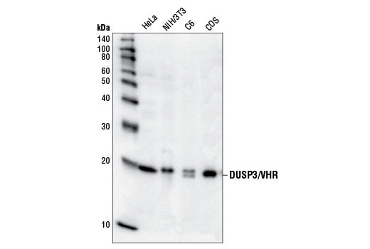 Polyclonal Antibody - DUSP3/VHR Antibody - Immunoprecipitation, Western Blotting, UniProt ID P51452, Entrez ID 1845 #4752 - Map Kinase Signaling