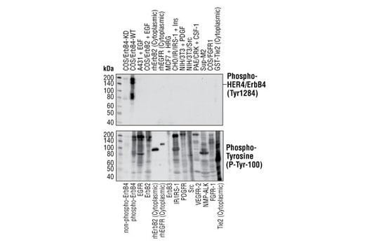 Monoclonal Antibody - Phospho-HER4/ErbB4 (Tyr1284) (21A9) Rabbit mAb, UniProt ID Q15303, Entrez ID 2066 #4757, Her4/Erbb4