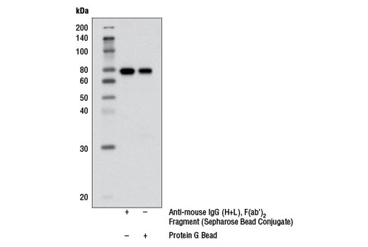 Immunoprecipitation Image 2: Anti-mouse IgG (H+L), F(ab')2 Fragment (Sepharose® Bead Conjugate)