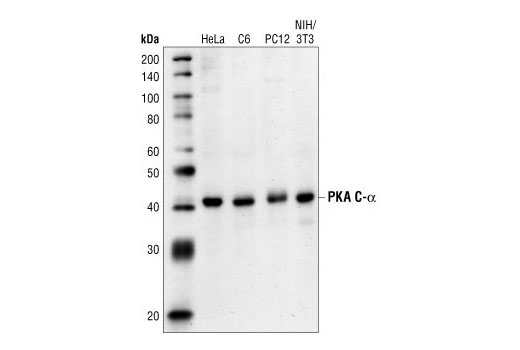 Western blot analysis of extracts from HeLa, C6, PC12 and NIH/3T3 cells, using PKA C-α Antibody.