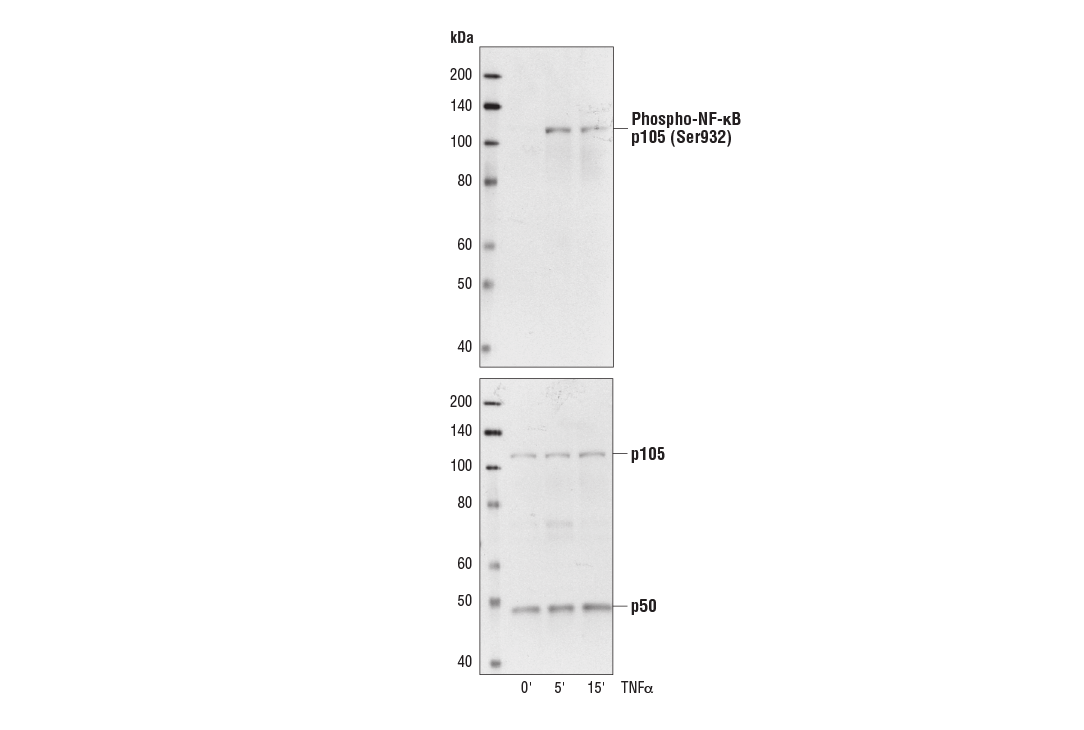 Western blot analysis of extracts from Vero cells, untreated or treated with TNF-α #2169 (20 ng/ml) for the times indicated, using Phospho-NF-κB p105 (Ser933) (18E6) Rabbit mAb #4806 (upper) and NF-κB p105/p50 Antibody #3035 (lower).
