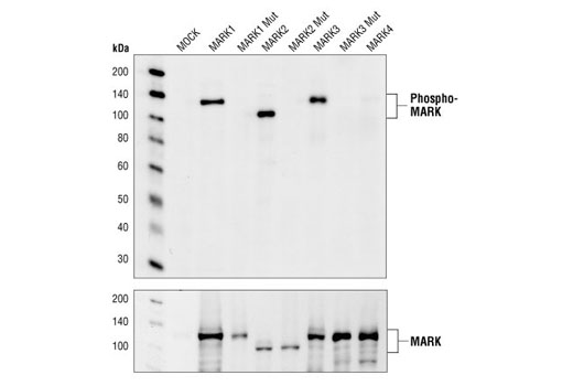 Western blot analysis of extracts from 293 cells transfected with either wild-type or threonine to alanine mutations at the respective phosphorylation sites of the MARK family members, using Phospho-MARK Family (Activation Loop) Antibody. Transfected constructs contain a GST and HA tag. Transfection efficiency monitored with HA Antibody, #2367.