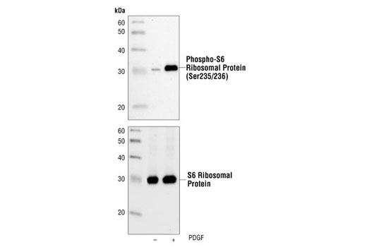 Western blot analysis of extracts from NIH/3T3 cells, untreated or PDGF-treated (100 ng/ml, 20 min), using Phospho-S6 Ribosomal Protein (Ser235/236) (2F9) Rabbit mAb (upper) or S6 Ribosomal Protein (5G10) Rabbit mAb #2217 (lower).
