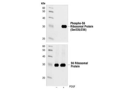 Western blot analysis of extracts from NIH/3T3 cells, untreated or PDGF-treated (100ng/ml, 20 min), using Phospho-S6 Ribosomal protein (Ser235/236) (91B2) Rabbit mAb (upper) or S6 Ribosomal Protein (5G10) Rabbit mAb #2217 (lower).