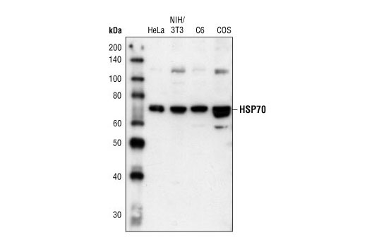 Western blot analysis of extracts from HeLa, NIH/3T3, C6 and COS cells, using HSP70 Antibody.