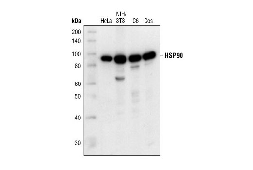 Western blot analysis of extracts from HeLa, NIH/3T3, C6 and COS cells using HSP90 Antibody.