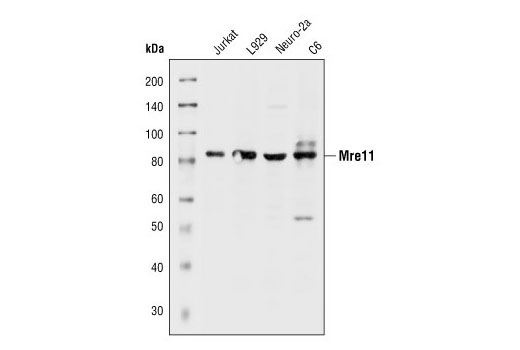 Western blot analysis of extracts from Jurkat (human), L929 (mouse), Neuro-2a (mouse) and C6 (rat) cells, using Mre11 Antibody.