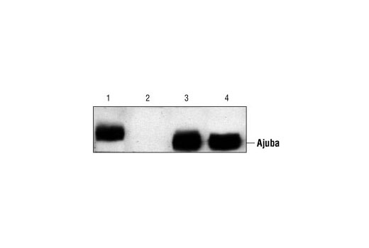 Western blot analysis of extracts from MEF -/- cells rescued with a construct overexpressing Ajuba (lane 1), MEF -/- cells (lane 2), MEF +/+ cells (lane 3) and P19 cells (lane 4), using Ajuba Antibody. (Kindly provided by Dr. Gregory D. Longmore, Washington University, St. Louis, Missouri.)