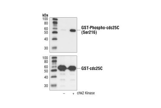 Western blot analysis of GST-cdc25C, unphosphorylated or phosphorylated in vitro by Chk2, using Phospho-cdc25C (Ser216) (63F9) Rabbit mAb (upper) or cdc25C antibody #9522 (lower).