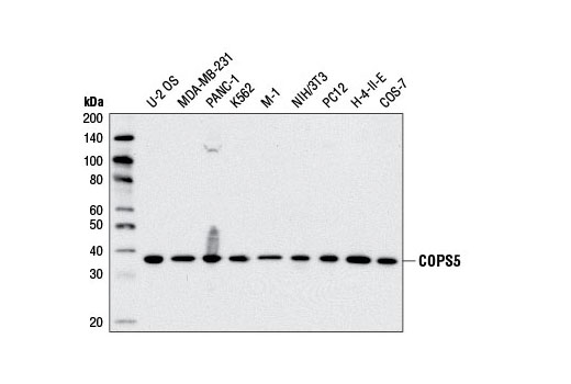 Western blot analysis of extracts from various cell lines using COPS5 Antibody.