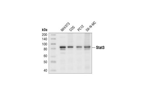 Western blot analysis of extracts from various cell lines using Stat3 (79D7) Rabbit mAb.