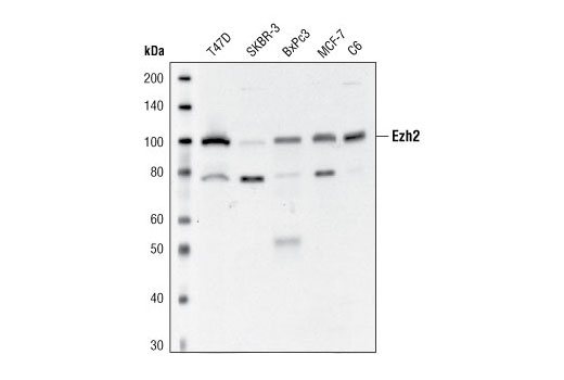 Western blot analysis of extracts from various cell lines using Ezh2 Antibody.