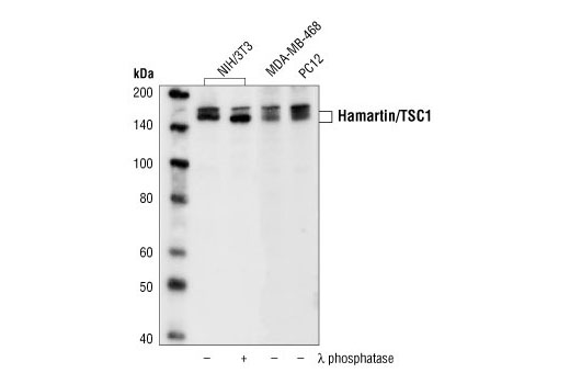 Polyclonal Antibody Cell Projection Organization and Biogenesis