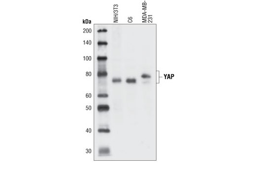 Western blot analysis of extracts from NIH/3T3, C6 and MDA-MB-231 cells, using YAP Antibody.