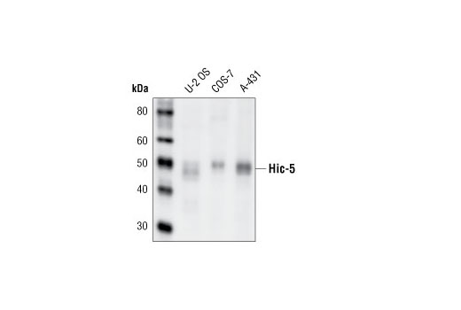 Western blot analysis of extracts from U-2-OS, COS-7 and A-431 cells using Hic-5 Antibody.