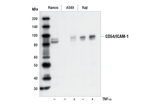 Western blot analysis of extracts from Ramos, A549 and Raji cells, untreated (-) or TNF-α-treated (+), using CD54/ICAM-1 Antibody.