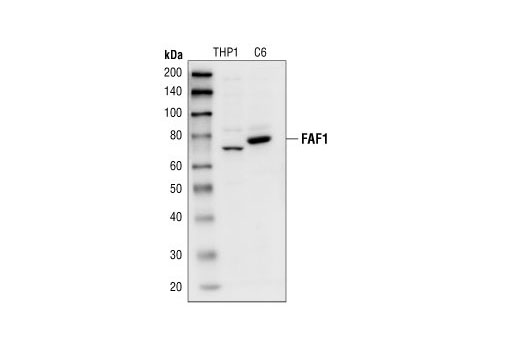 Western blot analysis of extracts from THP1 and C6 cells, using FAF1 Antibody.