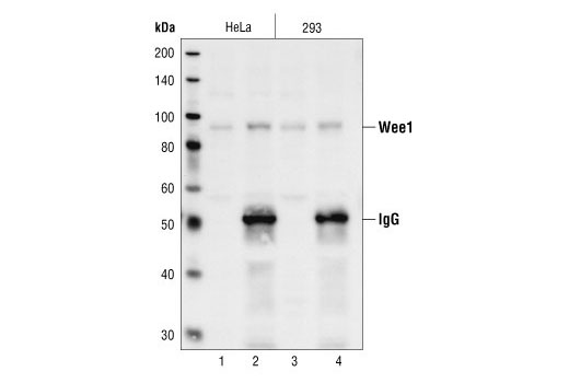 Western blot analysis, using Wee1 Antibody, of extracts from HeLa and 293 cells (lanes 1 and 3) and of protein immunoprecipitated with Wee1 Antibody from the same lysates (lanes 2 and 4).
