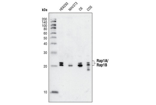 Western blot analysis of extracts from HEK293, NIH/3T3, C6 and COS cells, using Rap1A/Rap1B Antibody.