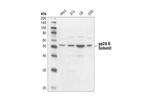 Western blot analysis of extracts from HeLa, NIH/3T3, C6 and COS cells using PP2A B Subunit Antibody.