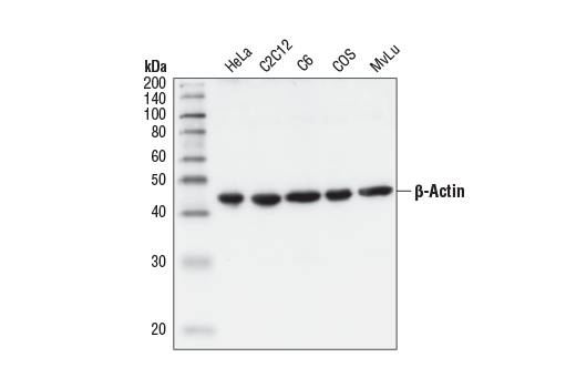 Western blot analysis of extracts from HeLa, C2C12, C6, COS, MvLu cells and guinea pig neutrophils (GPN), using β-Actin Antibody.