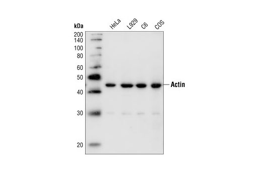 Western blot analysis of extracts from HeLa, L929, C6 and COS cells, using Pan-Actin Antibody.