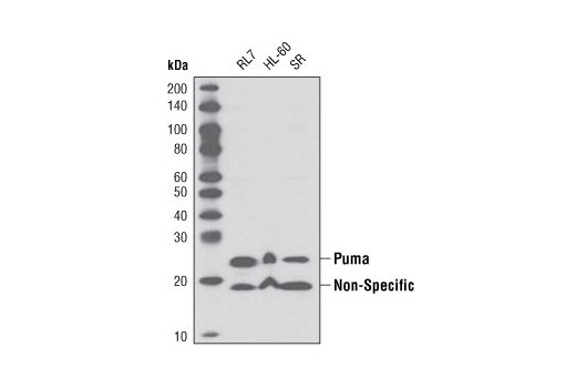 Polyclonal Antibody Negative Regulation of Growth