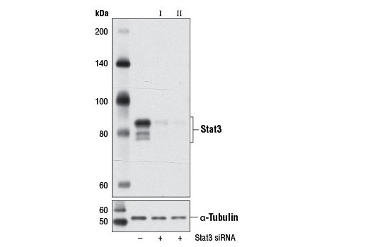 Western blot analysis of extracts from NIH/3T3 cells, transfected with 100 nM SignalSilence<sup>®</sup> Control siRNA (Unconjugated) #6568 (-), SignalSilence<sup>®</sup> Stat3 siRNA I (Mouse Specific) #6353 (+), or SignalSilence<sup>®</sup> Stat3 siRNA II (Mouse Specific) (+) using Stat3 (124H6) Mouse mAb #9139 (upper) or α-Tubulin (11H10) Rabbit mAb #2125 (lower). The Stat3 (124H6) Mouse mAb confirms silencing of Stat3 expression, while the α-Tubulin (11H10) Rabbit mAb is used as a loading control.
