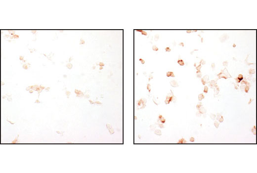Immunohistochemical analysis of paraffin-embedded HUVEC cells, untreated (left) or VEGF-treated (right), using Phospho-VEGF Receptor-2 (Tyr951) (15D2) Rabbit mAb.