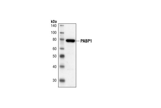 Western blot analysis of extracts from HT-29 cells, using PABP1 Antibody.