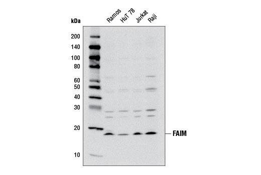 Polyclonal Antibody - FAIM Antibody - Western Blotting, UniProt ID Q9NVQ4, Entrez ID 55179 #6907