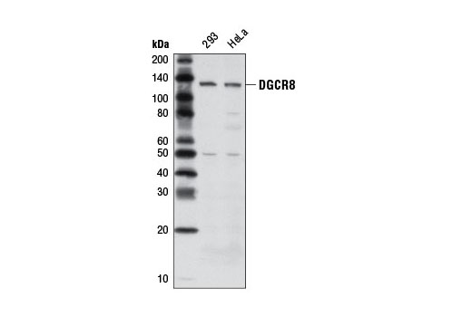 Monoclonal Antibody - DGCR8 (D78E4) Rabbit mAb - Western Blotting, UniProt ID Q8WYQ5, Entrez ID 54487 #6914, Dgcr8