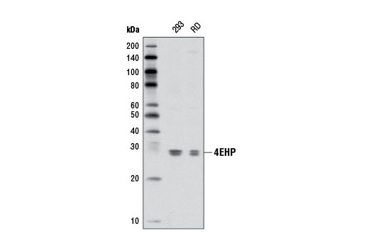 Western blot analysis of extracts from 293 and RD cells using 4EHP (D54C2) Rabbit mAb.