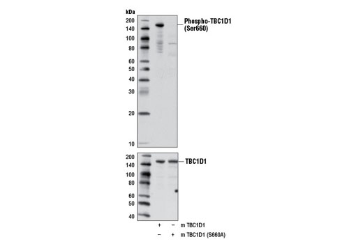 Polyclonal Antibody Western Blotting Protein Localization - count 20