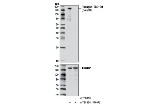 Polyclonal Antibody - Phospho-TBC1D1 (Ser700) Antibody - Western Blotting, UniProt ID Q60949, Entrez ID 57915 #6929