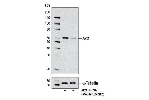 Western blot analysis of extracts from C2C12 cells, transfected with 100 nM SignalSilence<sup>®</sup> Control siRNA (Unconjugated) #6568 (-) or SignalSilence<sup>® </sup>Akt1 siRNA I (Mouse Specific) (+), using Akt1 (C73H10) Rabbit mAb #2938 (upper) or α-Tubulin (11H10) Rabbit mAb #2125 (lower). The Akt1 (C73H10) Rabbit mAb confirms silencing of Akt1 expression, while the α-Tubulin (11H10) Rabbit mAb is used as a loading control.