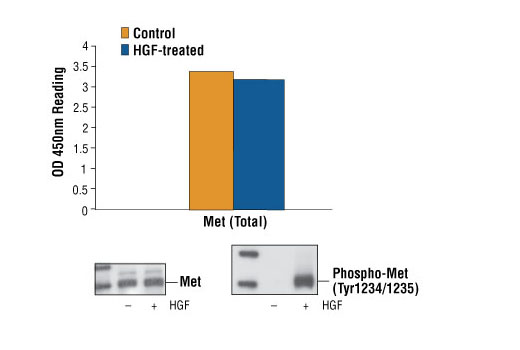 Figure 1: Non-phospho and phospho Met proteins from untreated and HGF-treated A431 cells can be detected by PathScan® Total Met Sandwich ELISA kit #7242 with similar optical density readings. OD 450 readings are shown in the top figure, while the corresponding Western blots using Met Mouse mAb #3127 (left panel) or Met (Tyr1234/1235) Rabbit mAb #3129 (right panel), are shown in the bottom figure.