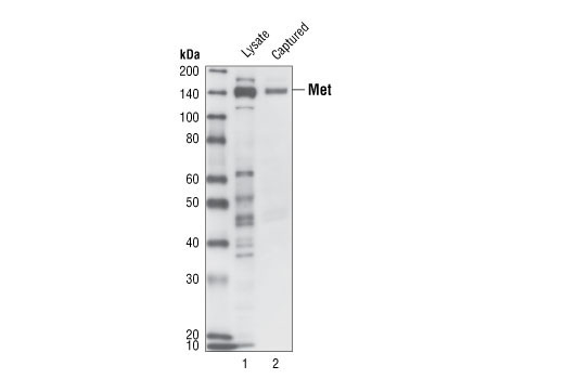 Figure 3: Kit specificity demonstrated by Western blot analysis of the ELISA-well captured protein is shown. Lysates were prepared from human A431 cells and incubated in wells coated with a Met Mouse mAb. Wells were then washed, and captured protein was solubilized in SDS gel loading buffer. A431 lysate (lane 1) and captured protein (lane 2) were analyzed by Western blot using a Met Rabbit antibody. A single band corresponding to the Met protein is detected in the captured material (lane 2).