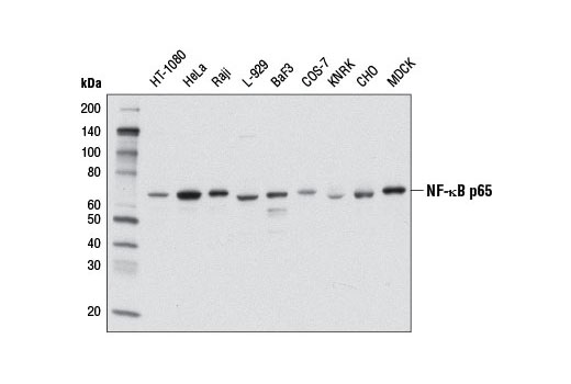 Western blot analysis of extracts from various cell lines using NF-κB p65 (L8F6) Mouse mAb.