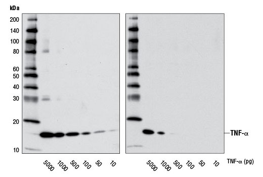 Western blot analysis of recombinant human TNF-α #8902 using TNF-α (D5G9) Rabbit mAb (left) or TNF-α Antibody #3707 (right).