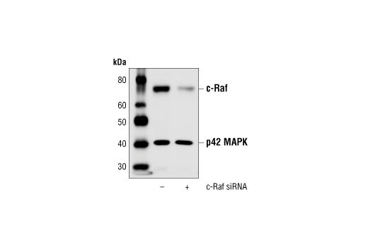 Image 2: SignalSilence® c-Raf siRNA (Human Specific)