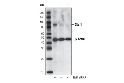 Western blot analysis of extracts from HeLa cells, transfected with 100 nM SignalSilence<sup>®</sup> Control siRNA (Unconjugated) #6568 (-) or SignalSilence<sup>®</sup> Stat1 siRNA I or SignalSilence<sup>®</sup> Stat1 siRNA II #6544 (+), using Stat1 Antibody #9172 and β-Actin (13E5) Rabbit mAb #4970. The Stat1 Antibody confirms silencing of Stat1 expression, while the β-Actin (13E5) Rabbit mAb is used as a loading control.