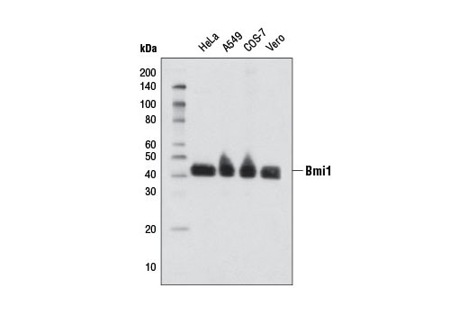 Monoclonal Antibody Flow Cytometry Bmi1
